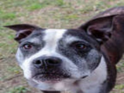 Adopt MACK a Black - with White American Pit Bull Terrier / Mixed dog in Plano