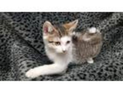 Adopt Kitten 18213 a Brown or Chocolate Domestic Shorthair cat in Parlier
