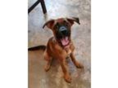 Adopt Abby a German Shepherd Dog, Black Mouth Cur