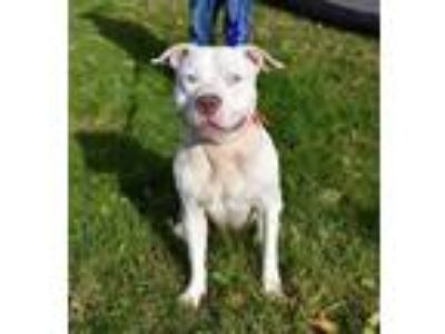 Adopt Blizzy a Pit Bull Terrier, Mixed Breed