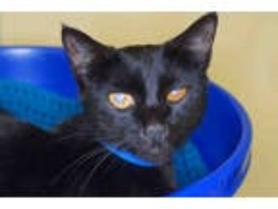 Adopt NISSAN a All Black Domestic Shorthair / Mixed (short coat) cat in West