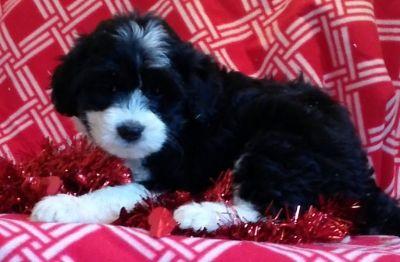 Miniature Bernedoodle PUPPY FOR SALE ADN-63665 - mini bernedoodle puppies for sale maryland puppy