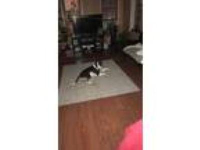 Adopt Jordan a Black - with White American Pit Bull Terrier / American Pit Bull