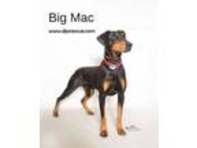 Adopt Big Mac a Doberman Pinscher