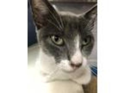 Adopt 42206217 a Gray or Blue Domestic Shorthair / Domestic Shorthair / Mixed