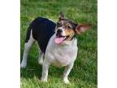 Adopt Chrissy (Judy) a Tricolor (Tan/Brown & Black & White) Rat Terrier / Mixed