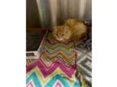 Adopt Pony Boy a Domestic Short Hair