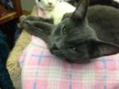 Adopt Bubbles a Domestic Mediumhair / Mixed cat in Fresno, CA (13962491)