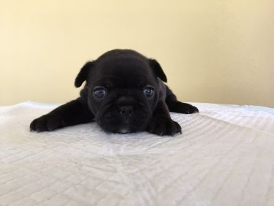 French Bulldog PUPPY FOR SALE ADN-93456 - AKC Frenchie Pups