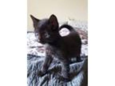 Adopt Zazu a All Black Domestic Shorthair / Mixed cat in Washougal