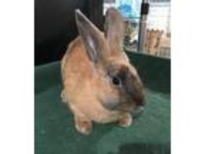 Adopt Holly a Chocolate Harlequin / Mixed (short coat) rabbit in Waynesboro