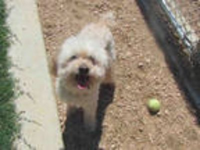 Adopt STANLEY a White Poodle (Miniature) / Cocker Spaniel / Mixed dog in Plano