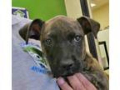 Adopt Lilo a Brindle Boxer / Mixed dog in Georgetown, TX (25315165)