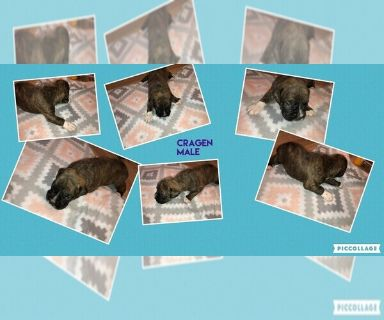 Boxer PUPPY FOR SALE ADN-129954 - Brindle Male Boxer