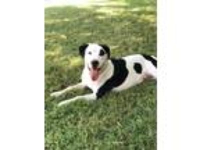 Adopt Moo a White - with Black Labrador Retriever / Retriever (Unknown Type) /