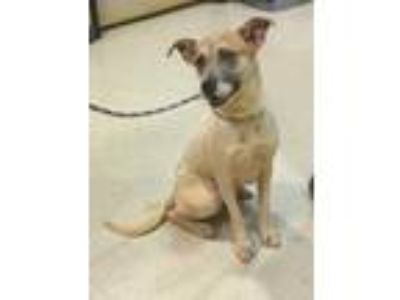 Adopt Paris a White American Pit Bull Terrier / Husky / Mixed dog in