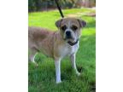 Adopt Jana a Tan/Yellow/Fawn - with White Pug / Boston Terrier / Mixed dog in