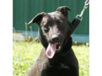 Adopt Raven a Black - with White Labrador Retriever / Mixed dog in Batavia