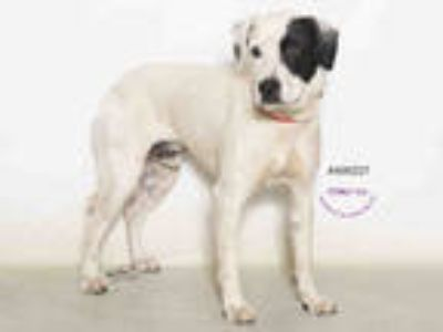 Adopt KILO a White - with Black Beagle / Mixed dog in Moreno Valley