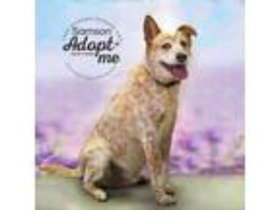 Adopt Samson a White Cattle Dog dog in Mooresville, NC (24947833)