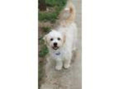Adopt Winston a Terrier, Poodle