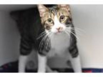 Adopt Fancy a Domestic Shorthair / Mixed (short coat) cat in Fort Worth
