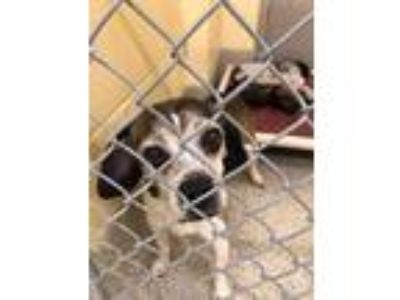 Adopt Dibble a Brindle - with White Beagle / Pug / Mixed dog in BALTIMORE