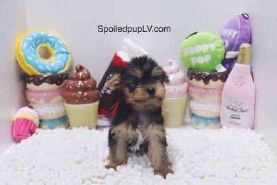 Yorkshire Terrier - Burton - Male