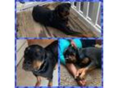 Adopt Zeus a Black Rottweiler / Mixed dog in Joliet, IL (25876249)