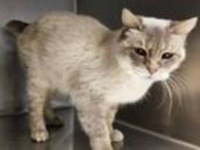 Adopt A698665 a Domestic Short Hair