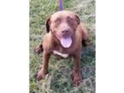 Adopt Sassy a Brown/Chocolate Labrador Retriever / Mixed Breed (Large) / Mixed