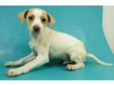 Adopt Ladd a Terrier, Beagle