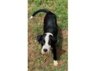 Adopt Delilah a Border Collie, Labrador Retriever