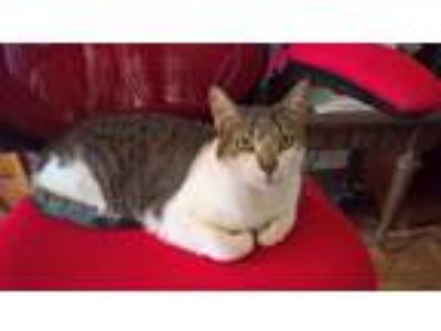 Adopt Hotch a Gray or Blue (Mostly) Domestic Shorthair cat in Hominy