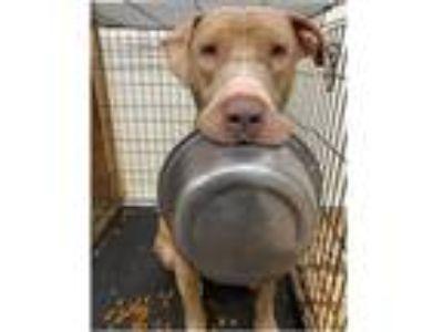 Adopt Hootie a Labrador Retriever, Husky