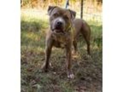 Adopt Fisher a Staffordshire Bull Terrier