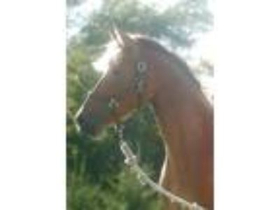 Stunning Sweet and Sound Dutch Warmblood Mare Sired by Gambol