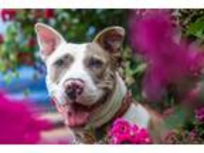 Adopt Pickles a Pit Bull Terrier / Mixed dog in St. Louis, MO (24954508)