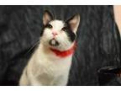Adopt Amy a Domestic Short Hair
