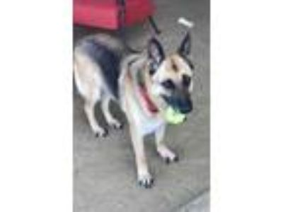 Adopt HYKA a German Shepherd Dog