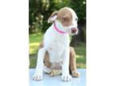 Adopt Casey a White - with Tan, Yellow or Fawn Hound (Unknown Type) / Mixed dog