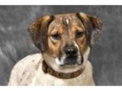 Adopt Freckles a White Australian Cattle Dog / Mixed dog in Cashiers