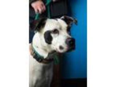 Adopt Ella Bella a White - with Black Pointer / Hound (Unknown Type) / Mixed dog