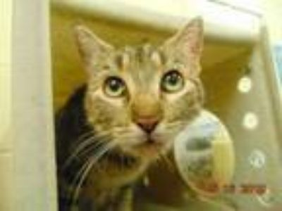 Adopt SURREY a Domestic Short Hair