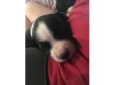Adopt Dahlia a Australian Cattle Dog / Blue Heeler