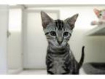 Adopt Dragonfly a Domestic Shorthair / Mixed (short coat) cat in Raleigh