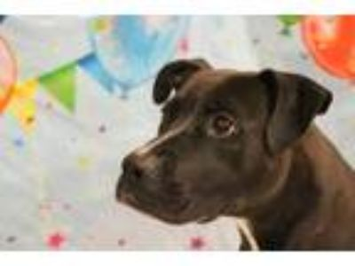 Adopt Brooklyn a Black American Pit Bull Terrier / Mixed dog in SMITHFIELD