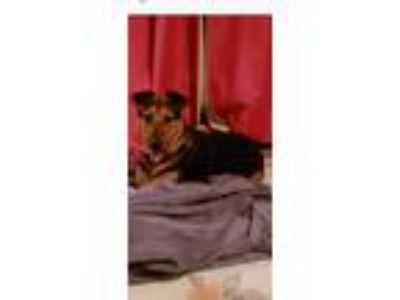 Adopt Gina a Brown/Chocolate - with Black German Shepherd Dog / Labrador