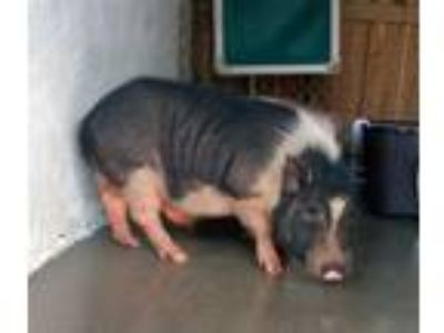 Adopt 19-07-2180 Porkrind a Pig (Farm) farm-type animal in Dallas, GA (25930208)