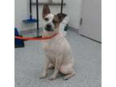 Adopt Theo a White - with Tan, Yellow or Fawn Blue Heeler dog in Knoxville
